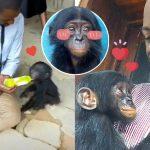 'ลูกลิงโบโนโบน้อย' ส่งยิ้มหวานให้หนุ่มใจดี ที่ช่วยมันจากการถูกค้าผิดกฎหมาย
