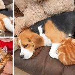'บีเกิ้ลขี้อาย' รับเลี้ยงลูกแมวกำพร้าถึง 2 ตัว จนร่างกายเริ่มผลิตน้ำนม ทั้งๆ ที่ไม่เคยมีลูก