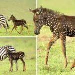 """พบลูกม้าลายเกิดมาพร้อมกับ """"ลายจุด"""" แทนที่ลายขวาง ทั้งดูพิเศษและน่ารักมากๆ"""