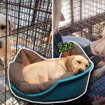 สุนัขในฟาร์มเนื้อทำมือเป็นสัญลักษณ์ 'ขอบคุณ' ผู้ช่วยเหลือ มันจึงรอดและได้รับชีวิตใหม่