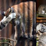 แม่แมวช่วยรับลิงซ์กำพร้ามาดูแล หลังมันถูกแม่แท้ๆ ทิ้ง ทำให้มันเติบโตด้วยความรัก
