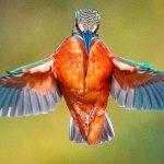 """ช่างภาพถ่ายช็อตเด็ดของ """"นกคิงฟิชเชอร์สยายปีก"""" เป็นภาพที่อาจเจอครั้งเดียวในชีวิต!!"""