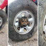 หมาจรจัดซนได้เรื่อง เอาหัวเข้าไปติดอยู่ในซี่ล้อรถ ผู้ช่วยเหลือจึงต้องยื่นมือเข้าช่วย