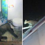 สิงโตภูเขาเข้าบ้านมนุษย์ และตกใจหนีไปหลบในห้องน้ำ ตกลงใครบุกบ้านใครกันแน่!?