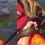 เจ้าหมาเจอเพื่อนใหม่ในทะเล เป็นพะยูนแสนเป็นมิตร เลยทักทายมันด้วยการจุ๊บเบาๆ