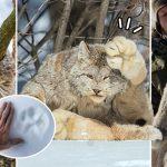 """พบกับ """"แคนาดาลิงซ์"""" แมวป่านักล่าอันดับต้นๆ ที่มีอุ้งเท้าใหญ่กว่ามือมนุษย์ซะอีก"""