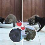 แรคคูนและลูกหมาน้อย อยู่ในกรงเดียวกัน และกลายเป็นคู่หูสุดแปลกในสวนสัตว์