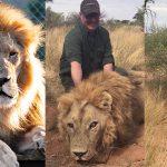 สิงโตถูกเลี้ยงผิดกฎหมายเพื่อขายนักล่า ได้ใช้ชีวิตแสนสุข หลังมีคนช่วยมันออกมา