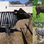 นักวิจัยยืนยันจากผลทดลอง 'ลายม้าลาย' ช่วยไล่แมลงได้ดีมากแม้แต่ 'วัว' ยังใช้ได้!!