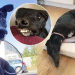 น้องหมาเกรย์ฮาวด์ถูกช่วยเอาไว้ มาพร้อมรอยยิ้มที่ไม่เหมือนใคร เพราะฟันยื่นๆ ของมัน