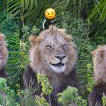 ช่างภาพทึ่ง! เมื่อสิงโตเจ้าป่าหันมายิ้มให้ แถมขยิบตาให้ด้วย ขณะที่กำลังถ่ายรูปมัน