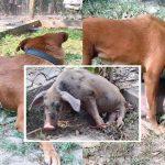 หมาที่เคยถูกช่วย อาสารับดูแลลูกหมูซึ่งเป็นอัมพาต ช่วยให้ความอบอุ่นมันเหมือนแม่