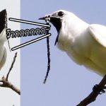 เชิญชมเสียงของนกเบลเบิร์ด ซึ่งนับว่าดังที่สุด ในบรรดาสัตว์บนโลกมนุษย์ตอนนี้!!