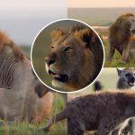 สิงโตหนุ่มวิ่งเข้าไปช่วยเพื่อนที่ถูกแก๊งไฮยีน่ากว่า 20 ตัวรุมร้าย จนรอดมาได้ในที่สุด