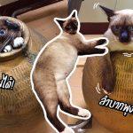 แมวซนจนได้เรื่อง มุดไหแล้วออกไม่ได้เพราะติดพุง ทาสถึงกับต้องทุบไหเพื่อช่วย!!