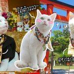 'Koyuki' หัวหน้าพระเหมียวของศาลเจ้าแมวในญี่ปุ่น คอยทักทายญาติโยมด้วยสีหน้าวร้ายๆ