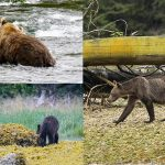 เผยภาพน่าสลดใจ หมีกริซลี่ผอมกร่องเพราะแซลม่อนไม่พอ ผลจากภาวะโลกร้อน