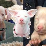 หมาน้อยหูหนวกและตาบอด แต่มีหน้าตาแสนน่ารัก และตัวสีอมชมพูเหมือนลูกหมู