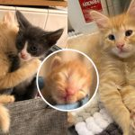 ลูกแมวกำพร้าส่งต่อความรักให้เพื่อนมิ้วตัวอื่นๆ หลังจากได้รับความช่วยเหลือจนรอดมาได้