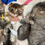 แมวจรตัวโต ทำตัวเป็นพี่เลี้ยงเด็ก รับอาสาดูแลลูกแมวจรจัดที่มาใหม่ทุกตัว