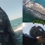 ลูกวาฬว่ายเข้ามาใกล้เรือทีมสำรวจ เพื่ออ้อนพวกเขาให้ลูบตัวให้ ทำเอาทุกคนทึ่งหนักมาก