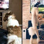 น่ารักอะไรขนาดนี้ เหล่าหมาต่างจ้องมองจอ เมื่อเห็นหนัง Lady And The Tramp ฉาย