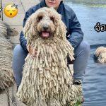เจ้าหมาขนไม้ม้อบดังใหญ่ หลังคลิปวิดีโอตอนว่ายน้ำของมัน ติดกระแสไวรัล