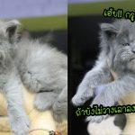 พบกับ 'ลูกแมวเมนคูนแฝด 5' ที่เกิดมาพร้อมขนปุกปุย และใบหน้าที่เหมือนไปโกรธใครมา
