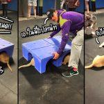 น้องหมาโกลเด้นรีทรีฟเวอร์ เจอเพื่อนหมาโกลเด้นใหม่ ชวนกันไปแอบจับมือในที่ลับตา