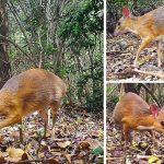 พบกระจงน้อยหายาก ตัวเล็กเท่ากับกระต่าย เป็นสายพันธุ์ที่คิดว่าสูญพันธุ์ไปแล้ว!!