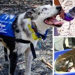 ทีมกู้ภัยหวังพึ่งสุนัขดมกลิ่น เผื่อพวกมันจะพบโคอาล่าที่เหลือรอดจากไฟป่ามากขึ้น