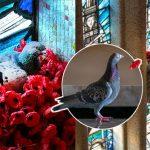นกพิราบสร้างรังสีสันสวยงาม จากดอกป๊อปปี้ที่คนนำมาไว้อาลัยให้ทหารนิรนาม