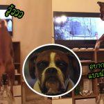 น้องหมาเห็นสุนัขในโฆษณากระเด้งบนแทรมโพลีน มันกระโดดตามด้วยความตื่นเต้น