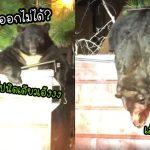 'หมีอ้วน' มุดลงไปหาอาหารในถังขยะ แต่เมื่อกินอิ่ม ดันออกมาไม่ได้ เพราะพุงติดฝาถัง
