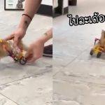 'ลูกแมวขาพิการ' และถูกแม่ทิ้ง วิ่งเล่นจนไม่รู้จักเหนื่อย หลังได้วีลแชร์คันจิ๋วจากคนใจดี