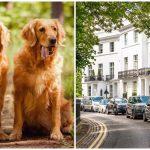 คู่รักเศรษฐีประกาศ ตามหาคนเลี้ยงคู่หูหมาโกลเด้น ค่าจ้างเดือนเป็น 100,000!!
