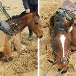 หญิงตกใจมากเมื่อม้า 2 ตัว จมลงไปในทรายดูดอย่างรวดเร็ว ดีที่นักดับเพลิงช่วยไว้ทัน
