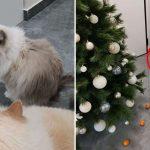 """""""เหมียวดื้อ"""" ชอบพังต้นคริสต์มาส ทาสจึงนำส้มไปวางรอบต้นไม้ เพราะรู้ว่านางกลัวส้ม"""