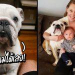 หมาพิตบูลล์ทำหน้าที่เป็นพี่คนโตที่ดี คอยตามดูแลน้องชายทั้ง 3 ให้คุณแม่