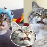 """""""Loki"""" แมวหน้าเหวี่ยง ที่ได้ฉายาว่า """"แวมไพร์"""" แถมนอนหลับโดยลืมตาข้างหนึ่งเสมอ"""