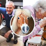 ม้าแคระตัวน้อย ทำหน้าที่เป็นสัตว์นักเยียวยา ช่วยมอบความสุขให้คนชรา