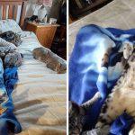 แมวทั้ง 5 ตัว พร้อมใจกันเข้าไปกอดแม่ เพื่อให้เธอรู้สึกดีขึ้นในช่วงพักฟื้นจากการผ่าตัด