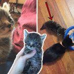 มิ้วน้อยตัวเล็กกว่าพี่น้องถึงครึ่งหนึ่ง แต่มันใจแกร่งและทำทุกอย่างได้ไม่แพ้ลูกแมวปกติ