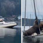 """คู่หู """"สิงโตทะเลยักษ์"""" จอมขี้เกียจ ยืมเรือชาวบ้าน ล่องกินลม ชมวิวอย่างโรแมนติก"""