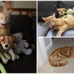 เจ้าแมวขี้ขโมย แอบขโมยตุ๊กตาคนอื่นกลับมาบ้านประจำ จนตอนนี้ตุ๊กตาเต็มไปหมด