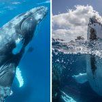 """'Tonga' ที่แห่งเดียวของโลกที่คุณสามารถว่ายน้ำเล่นกับ """"วาฬหลังค่อม"""" ยาว 15 เมตร"""