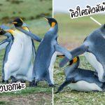 เกิดสงครามภายใน!! เมื่อหนุ่มๆ เพนกวินต่อสู้กัน เพื่อแย่งชิงสาวงามเพียงตัวเดียวของฝูง