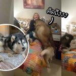 2 พี่หมาตัวโตตื่นเต้น ได้กลิ่นคุณย่าที่รักตั้งแต่เข้าบ้าน รีบวิ่งไปกอดเธอถึงในห้อง