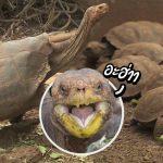ยอดเต่านักอึ๊บสาว อึ๊บกับเต่าตัวอื่นบ่อยมาก จนช่วยให้สายพันธุ์ของมันไม่สูญพันธุ์