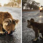 สุดสะเทือนใจ… หญิงพบโคอาลาออกมาเลียน้ำฝนบนถนนอย่างหิวโหย หลังรอดจากไฟป่า